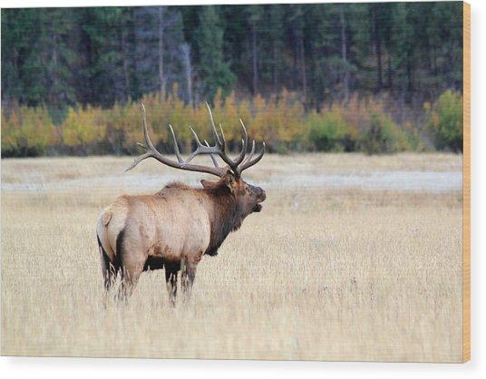 Big Colorado Bull Wood Print