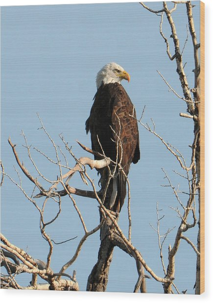 Big Horn Bald Eagle Wood Print