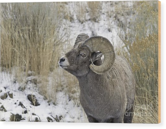 Big Horn Ram Wood Print by Bob Dowling