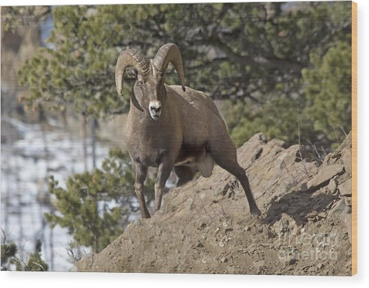 Big Horn Ram Wood Print