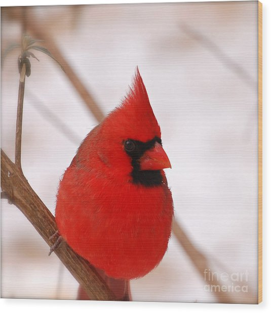 Big Red  Cardinal Bird In Snow Wood Print