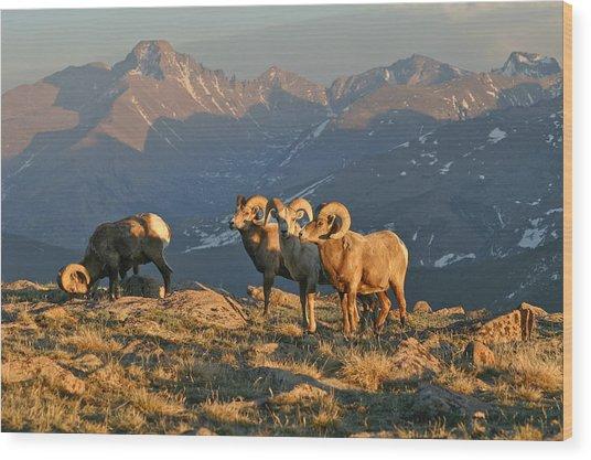 Bighorn Under Longs Peak Wood Print by Robert Yone