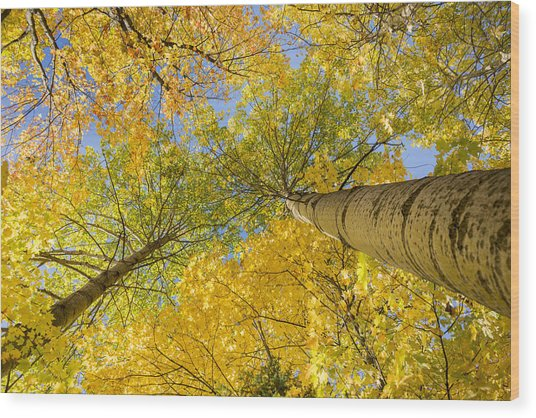 Bigtooth Canopy Wood Print