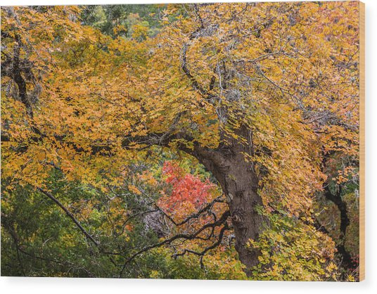 Bigtooth Maples Turning Colors Wood Print