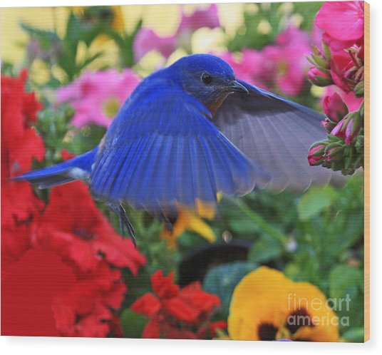 Billy Bluebird Landing Wood Print