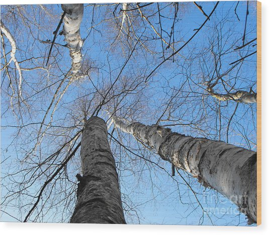 Birch Group In Winter Wood Print
