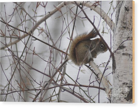 Birch Squirrel Wood Print by Diane E Berry