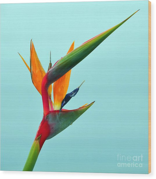 Bird Of Paradise Against Aqua Sky Wood Print
