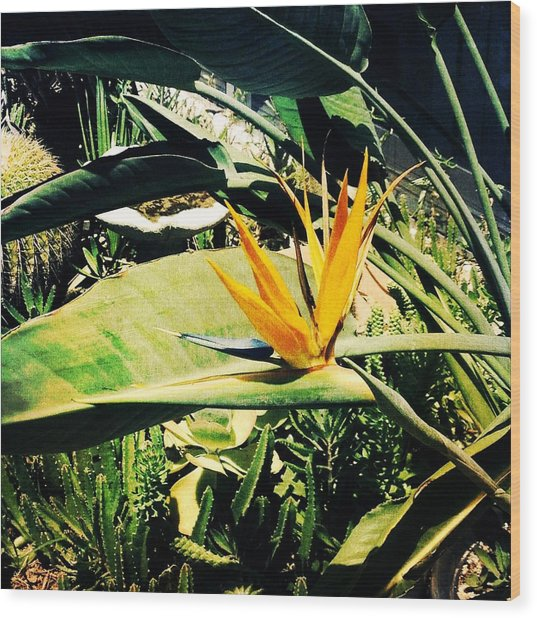 Bird Of Paradise Wood Print by Beth Williams
