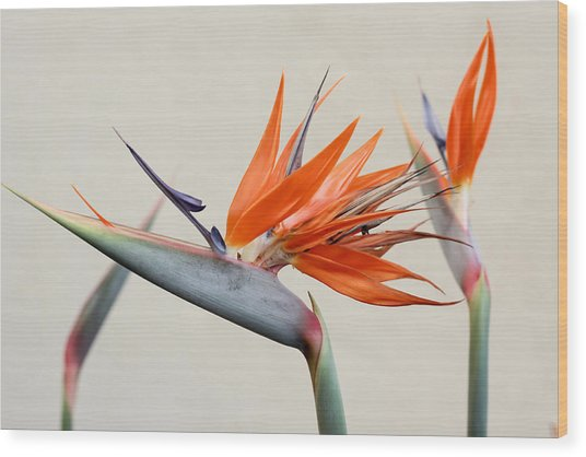 Bird Of Paradise Wood Print by Denice Breaux