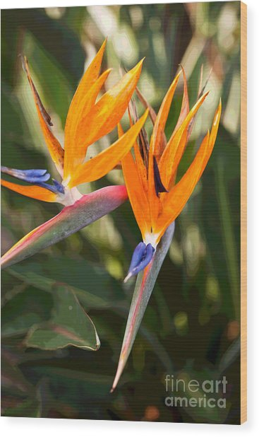 Bird Of Paradise In Flower Wood Print