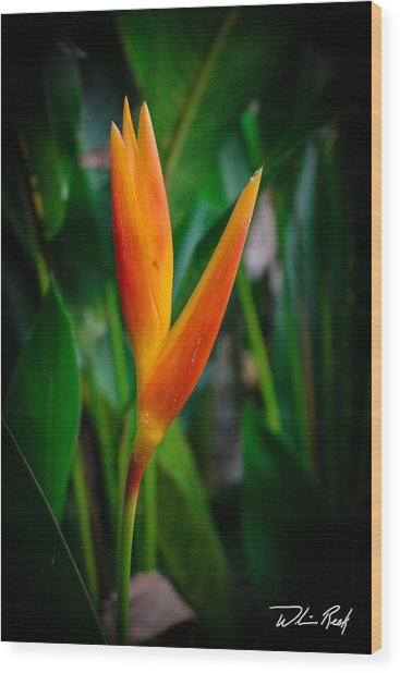 Bird Of Paradise Wood Print by William Reek