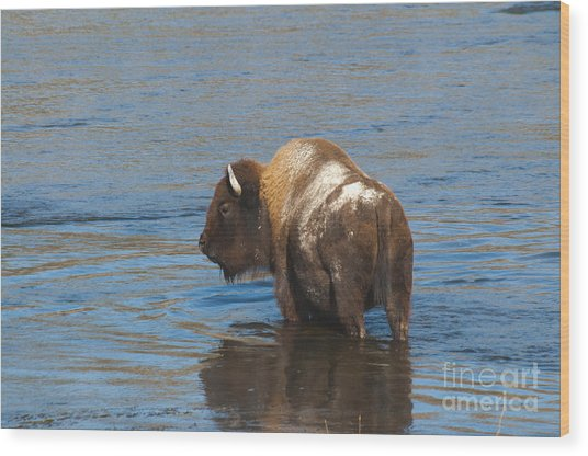 Bison Crossing River Wood Print