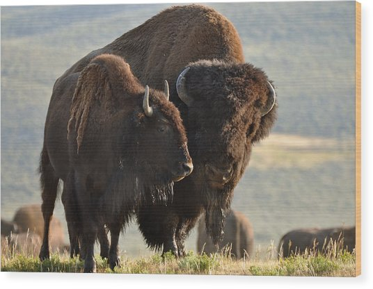 Bison Friends Wood Print