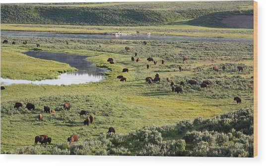 Bison In Hayden Valley In Yellowstone National Park Wood Print