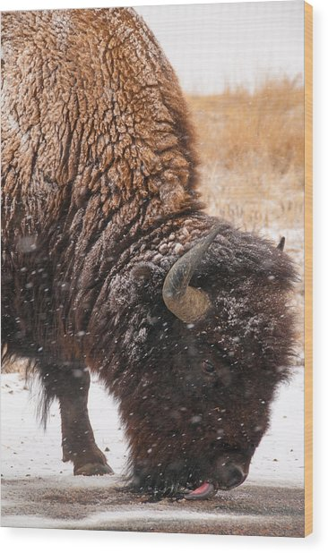 Bison In Snow_1 Wood Print