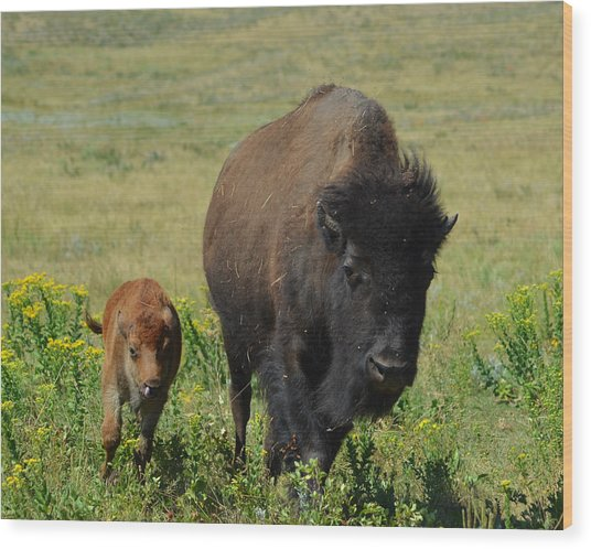 Bison Mother And Calf Wood Print by Dakota Light Photography By Dakota