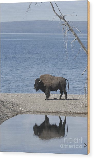 Bison Reflecting Wood Print by Bob Dowling