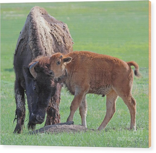 Bison With Young Calf Wood Print