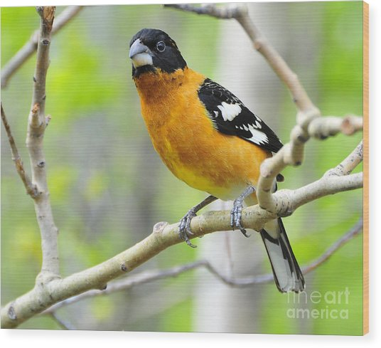 Blach-headed Grosbeak Wood Print