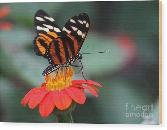 Wood Print featuring the photograph Black And Brown Butterfly On A Red Flower by Jeremy Hayden
