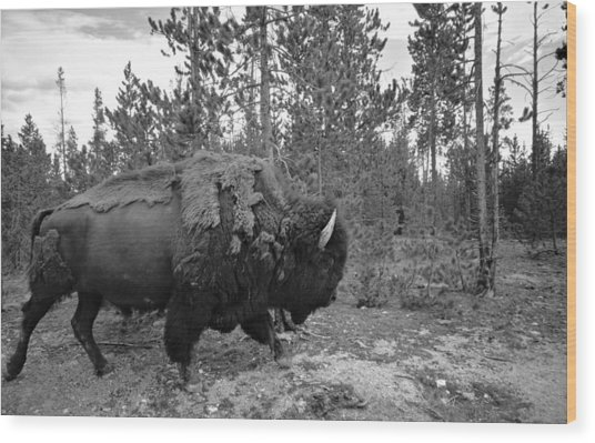 Black And White Bison In Yellowstone Wood Print