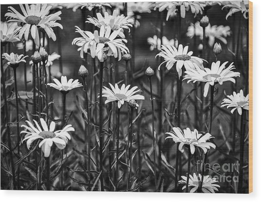 Black And White Daisies Wood Print