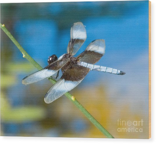 Wood Print featuring the photograph Black And White Dragonfly by Mae Wertz