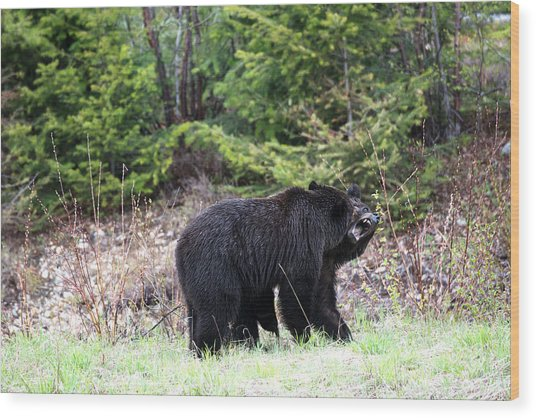Black Bears Having Fun Wood Print by Andy Fung