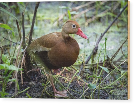 Black-bellied Whistling Duck 2 Wood Print
