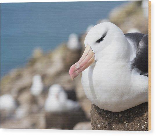 Black-browed Albatross (thalassarche Wood Print