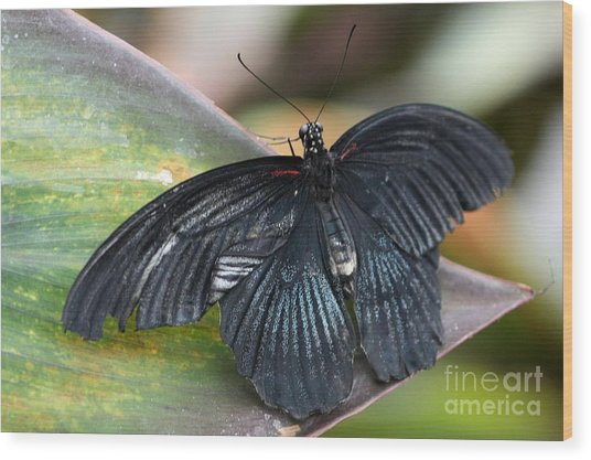 Wood Print featuring the photograph Black Butterfly by Jeremy Hayden