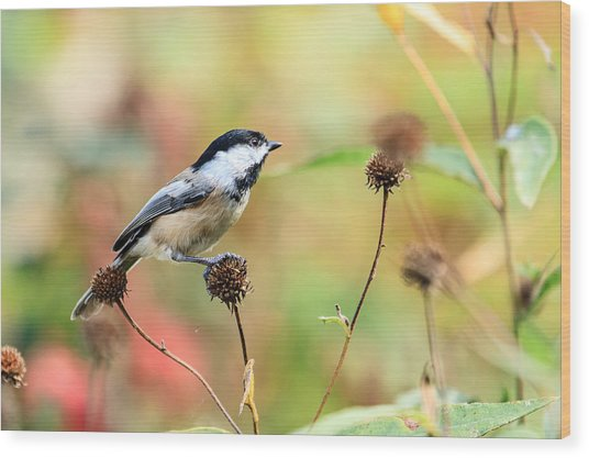 Black Capped Chickadee 1 Wood Print