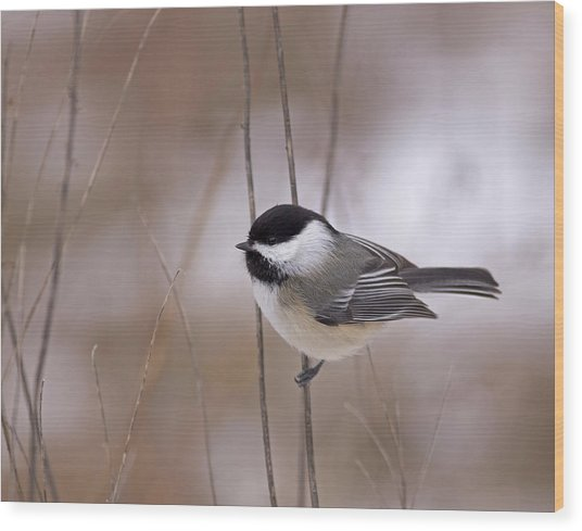 Black-capped Chickadee Wood Print by Brian Magnier