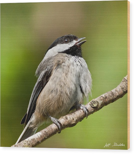 Black Capped Chickadee Singing Wood Print