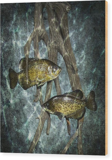 Black Crappies A Fish Image No 0143 Blue Version Wood Print