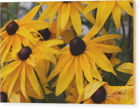 Black Eye Susan Flower Wood Print