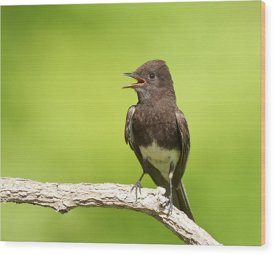 Black Phoebe Wood Print