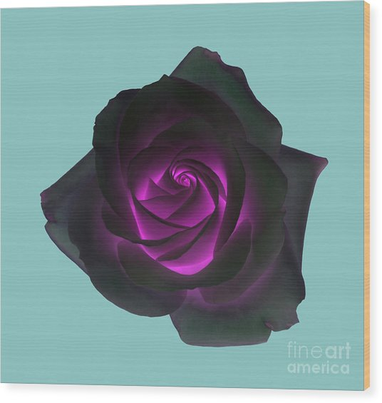 Black Rose With Purple Centre On Pale Turquoise Background. Wood Print by Rosemary Calvert