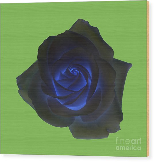 Black Rose With Vibrant Blue Petals At Centre On Green Wood Print by Rosemary Calvert