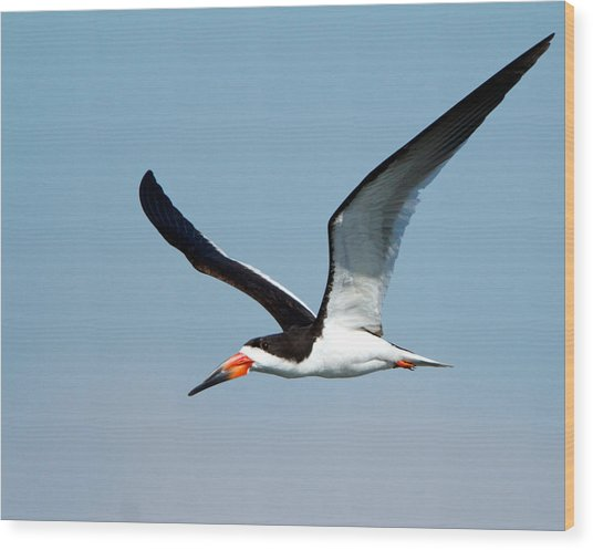 Black Skimmer Wood Print