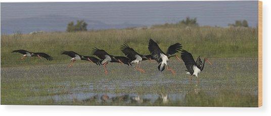 Black Stork Landing. Wood Print