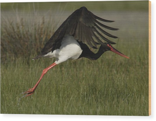 Black Stork Taking Off. Wood Print