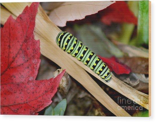 Black Swallowtail Butterfly Caterpillar Wood Print