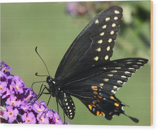 Black Swallowtail Wood Print by Theo