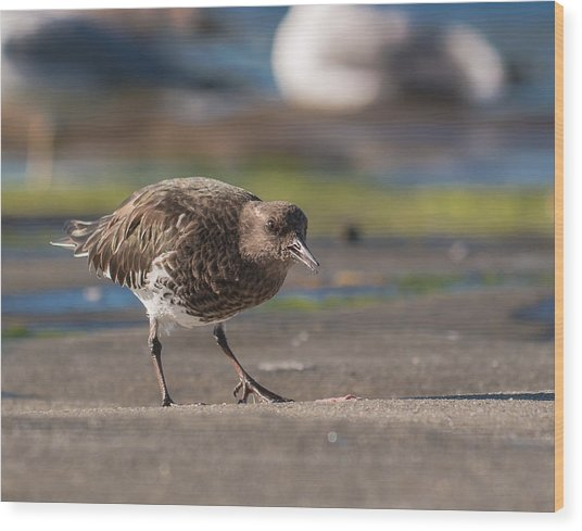 Black Turnstone Wood Print
