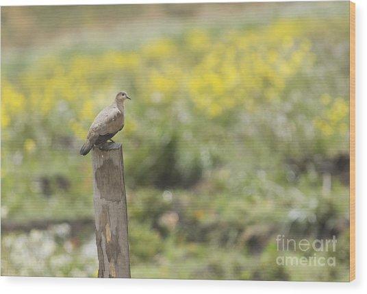 Black-winged Ground Dove Wood Print