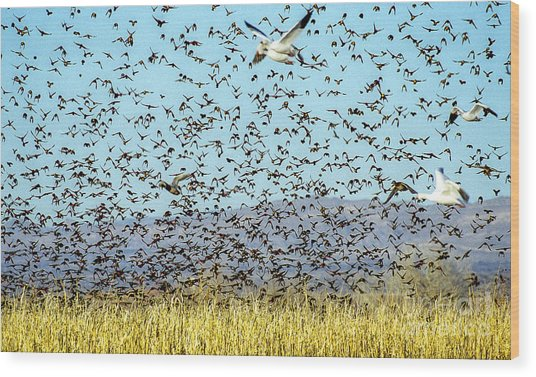 Blackbirds And Geese Wood Print