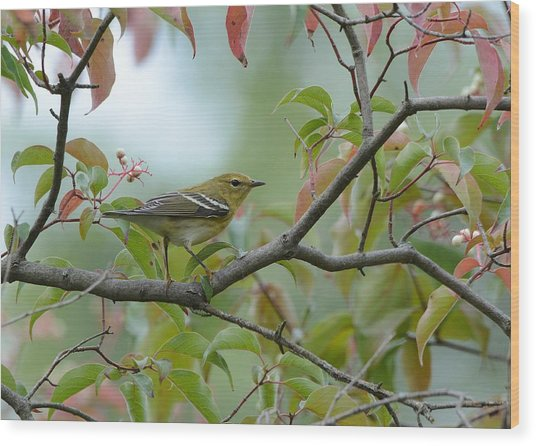Blackpoll Warbler In The Fall Wood Print