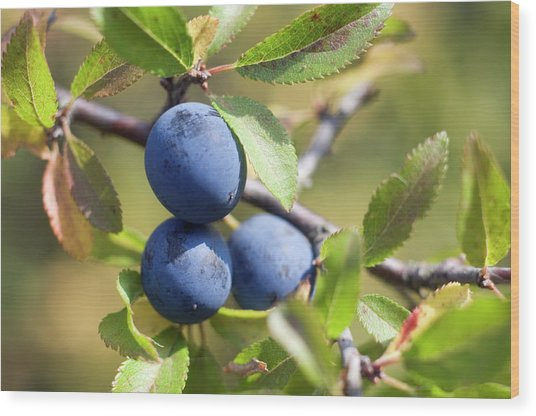 Blackthorn Berries Wood Print by Daniel Sambraus/science Photo Library